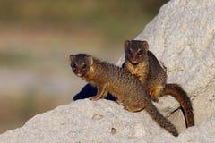 苗条猫鼬-博茨瓦纳 免版税库存照片