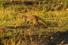 苗条的猫鼬 免版税库存照片