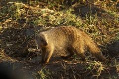 苗条的猫鼬 免版税库存图片