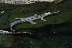 苗条装管嘴的鳄鱼在水中 库存图片