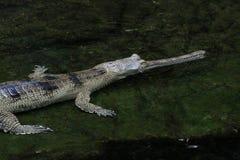 苗条装管嘴的鳄鱼在水中 图库摄影