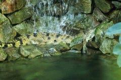 苗条装管嘴的鳄鱼 库存图片