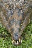 苗条装管嘴的鳄鱼Mecistops cataphractus 免版税库存图片