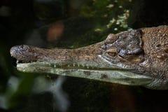 苗条装管嘴的鳄鱼(Mecistops cataphractus) 库存图片