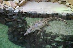 苗条装管嘴的鳄鱼Mecistops Cataphractus 库存照片