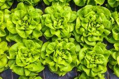莴苣工业发展自温室 免版税库存照片