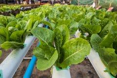 莴苣有机菜农场 免版税库存图片