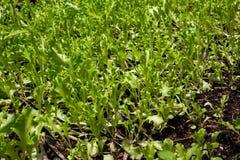 莴苣植物生长在菜园里的,莴苣阳光, 免版税库存图片