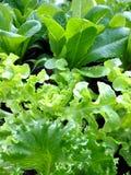 莴苣沙拉在菜园里 库存照片
