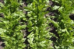 莴苣的耕种 免版税图库摄影
