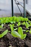莴苣的芽在黑暗的地球的 免版税库存图片