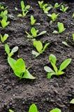莴苣的芽在黑暗的地球的 库存图片