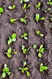 莴苣的芽 库存图片