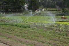 莴苣种植园 库存图片