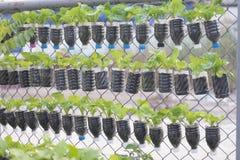莴苣种植盆 免版税库存照片