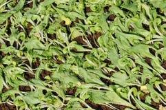 莴苣种植年轻人 免版税库存图片