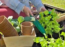 莴苣种植 免版税图库摄影