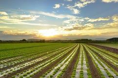 莴苣耕种 免版税库存图片