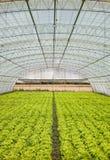 莴苣自温室 库存照片