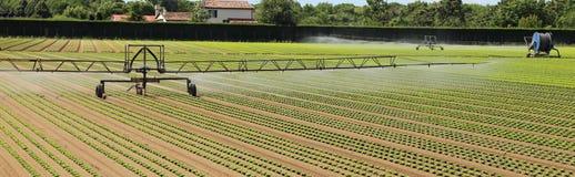 莴苣领域的自动灌溉系统 免版税库存照片