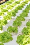莴苣领域 免版税库存图片