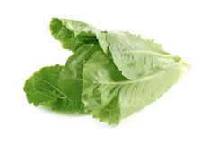 莴苣,在白色隔绝的长叶莴苣 免版税库存照片