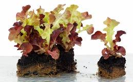 莴苣,生长在立方体的幼木 库存照片