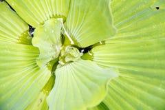 水莴苣 库存图片