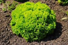 莴苣salat绿色自然背景 免版税库存图片