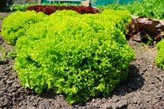 莴苣salat绿色自然背景 库存照片