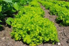 莴苣salat绿色自然背景 免版税库存照片