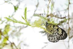 若虫结构树 免版税图库摄影