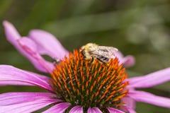苦汁从一朵桃红色花收集花粉, 免版税图库摄影