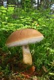 苦涩牛肝菌蘑菇 图库摄影