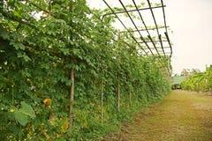 苦涩瓜、苦涩金瓜或者苦涩南瓜,一棵热带和亚热带藤菜 免版税库存照片