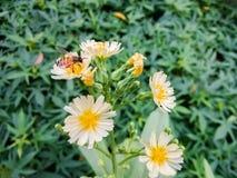 苦涩莴苣花是很美丽的 库存照片