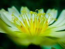 苦涩莴苣花是很美丽的 图库摄影