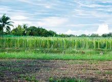 苦涩金瓜,苦涩瓜,中国金瓜,在农场耕种 免版税库存照片