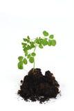 苦涩黄瓜汉语,辣木科(含油椒木属潜逃 ),树和种子 图库摄影