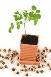 苦涩黄瓜汉语,辣木科(含油椒木属潜逃 ),树和种子 免版税库存照片