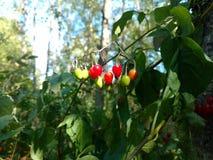 苦甜茄属植物 免版税图库摄影