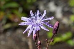 苦苣生茯的花和芽 库存照片