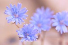 苦苣生茯蓝色花在柔和的背景的 软的选择聚焦 免版税库存照片