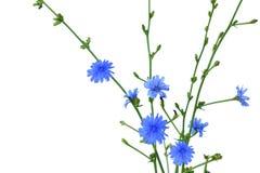 苦苣生茯Cichorium Intybus 免版税库存图片