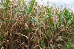 英亩玉米 免版税库存照片