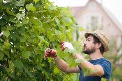 英俊的农夫工作在庭院的,修剪葡萄植物 免版税库存图片