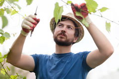 英俊的农夫工作在庭院的,修剪葡萄植物 免版税图库摄影