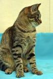 英俊的幼小虎斑猫 图库摄影