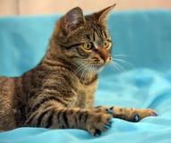 英俊的幼小虎斑猫 免版税库存照片
