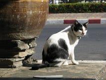英俊的泰国黑白色猫在地方村庄 图库摄影